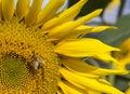 Bee on sunflower photo of Stock Photo