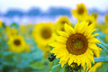 Bee and sunflower a stopped at a Royalty Free Stock Images
