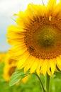Bee on sunwlofer Royalty Free Stock Photo