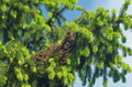 Bee swarm on tree spruce Stock Photo