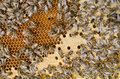 Bee swarm working Royalty Free Stock Photo