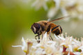Bee on sweetspire flower. Royalty Free Stock Photo
