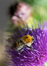 Bee and thistle Royalty Free Stock Photo