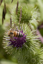 Bee on a thistle Royalty Free Stock Photo
