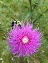 Bee on Thistle Royalty Free Stock Photo