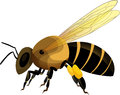Bee vector illustration of a Stock Photography