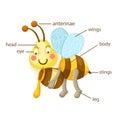 Bee vocabulary part of body illustration Royalty Free Stock Photo