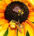 Bee watching spider eat fly Royalty Free Stock Photo