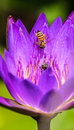 Bee on waterlily a a purple plant Royalty Free Stock Photography