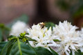 Bee white flower photography of in Royalty Free Stock Images