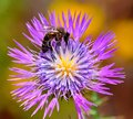 Bee on wild thistle flower collecting pollen in full splendor Royalty Free Stock Images