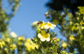 Bee at work in the end of Summer Royalty Free Stock Photo
