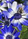Bee working on blue and white flowers closeup of a Stock Image