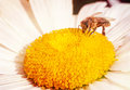 Bee on a yellow flower the chamomile and taken pollen summer colorful background Stock Images