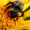 Bee on yellow flower close up Royalty Free Stock Photos