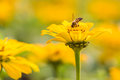 Bee on yellow flower Royalty Free Stock Photo