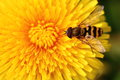 Bee on yellow flower dandelion close up Stock Image