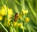 Bee on yellow flower mustard close up Royalty Free Stock Photography