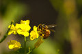 Bee on yellow flower a pollinating a in a vegetable garden Stock Image