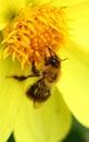 Bee on yellow georgina flower close up Royalty Free Stock Photos