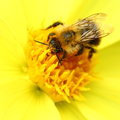 Bee on yellow georgina flower Royalty Free Stock Photo