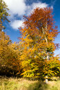 Beech in autumn colors against blue sky Stock Image