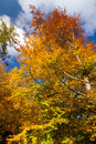 Beech in autumn colors against blue sky Stock Photos