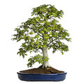 Beech bonsai tree fagus sylvatica isolated on white Stock Photos