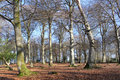 Beech Copse in Winter Royalty Free Stock Image