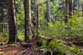 Beech fir forest reserve typical rajhenav slovenia eu Stock Photography