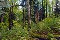 Beech fir forest reserve typical rajhenav slovenia eu Royalty Free Stock Photography