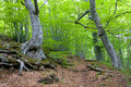 Beech forest Stock Photo