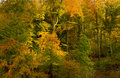 Beech forest in Autumn Royalty Free Stock Image