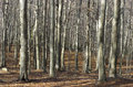 Beech forest in autumn background Stock Photo