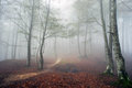 Beech forest in autumn with fog and a trail Stock Images