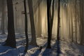 Beech forest on early lights beautiful soft through the trees in a Royalty Free Stock Photo