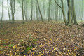 Beech forest shrouded in fog in autumn Stock Photos