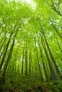 Haya bosque en
