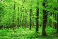 Beech forest in the summer Royalty Free Stock Photography