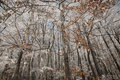Beech forest in the winter Stock Photo