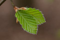 Beech leaf - close up Royalty Free Stock Images