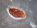 Beech leaf in ice of tree melting Royalty Free Stock Images