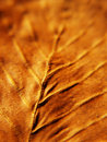 Beech leaf macro, autumn color (37) Stock Photo