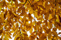 Beech leafs Royalty Free Stock Photos