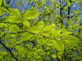 Beech leafy twig in spring young leaves of tree the sunlight Stock Photography