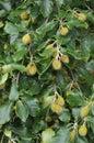 Beech Mast on Tree Royalty Free Stock Photo
