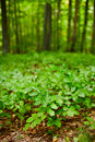 Beech seedlings with forest Stock Photography