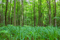 Beech tall green trees and grass in spring forest Royalty Free Stock Photo