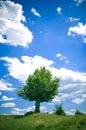 Beech tree Royalty Free Stock Photo