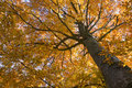 Beech tree in autumn colours Royalty Free Stock Image